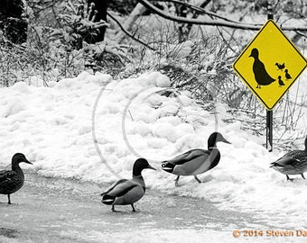 Ducks Crossing Humor Art Print, Duck Art, Ducks