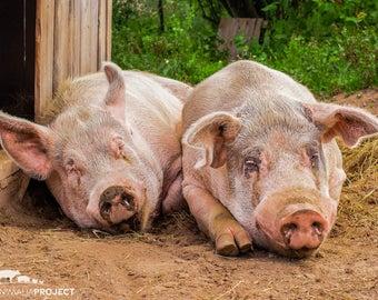 Nugget & Duncan Pigs, Farm Animal Rescue Portrait Photography, Pig Photograph Wall Art, Piggy Art