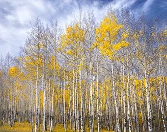 Aspen trees fall photo, Colorado aspen wall art, fall trees photo, log cabin decor, fine art photography, rustic wall art | Blue and Gold