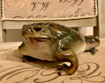 Vintage taxidermied bullfrog