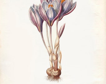 Vintage Purple Crocus Flower Print 8x10 P233
