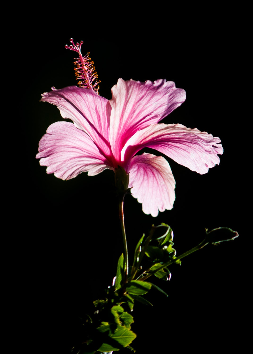 Pink hibiscus flower photography floral nature 8x10 8x12 fine zoom izmirmasajfo Gallery