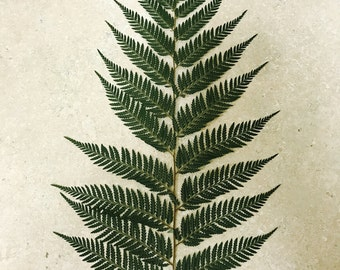 Large feather fern.  1 frond per page