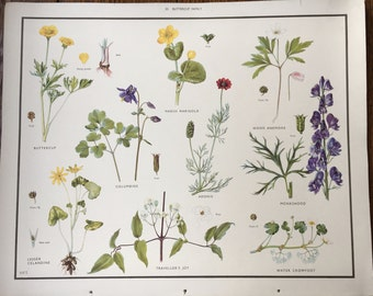 VINTAGE 1930's School Poster, Wall Chart,  BUTTERCUPS, Flora, Educational Print, Nature Study, Wildflowers Flowers