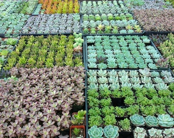 "100 Assorted 2"" Pot Succulents - Party, wedding favors, arrangements, wreaths, - Exotic Succulent Plant"