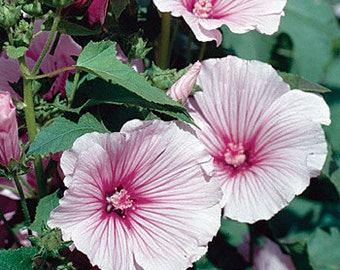PBHM) PINK BLUSH Mallow~Seed!!~~~~~~~~Prolific Growers!