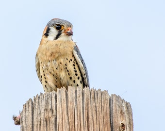 Wildlife Photography - American Kestrel with Meal