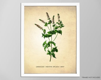 Mint Herb Art Print, Kitchen Botanical Art Print, Mint Herb Poster, Natural History Botanical Art Print, Mint Art Print, Kitchen Decor Print