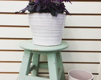 "Gynura aurantiaca Purple Velvet Plant 6"""