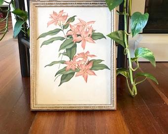 Vintage Botanical Print • Gold framed Floral Print • Mascarenhaisia Curnowiana • Bohemian Decor