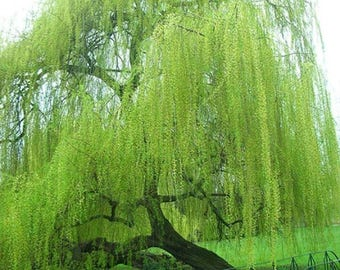 8 Weeping Willow Tree Cuttings! Live Tree, Live Plant, Gardening Shade Tree