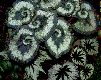 "Specialty Plant / Begonia / Escargot 4"" Pot RT76-D"
