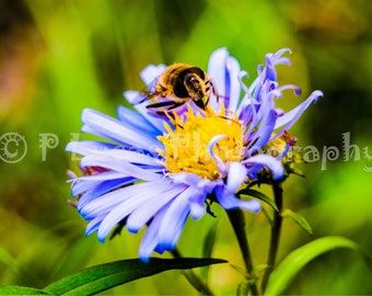 Aster and the Honey Bee