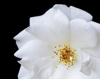 White Flower Photography, Black and White Dahlia Flower Photograph, Black and White Home Decor, White Contemporary Art, White Modern Decor