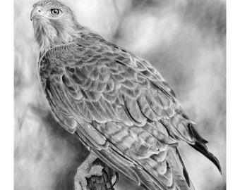 Red-Tail Hawk - Signed 11x14 Art Print of Pencil Drawing - Raptor, Chickenhawk, Birds of Prey, Bird