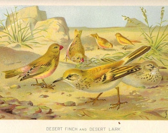 1904 Desert FINCH and Desert LARK Antique Colored Print  BIRDS Chromolithograph