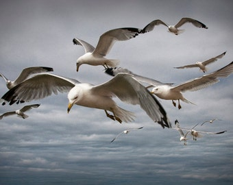 Flock of Gull Scavengers on the prowl by the Michigan Straits between Lake Michigan and Lake Huron No.2597 A Fine Art Bird Nature Photograph