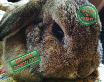 Fluffy Bunny Rabbit Picture Mini-lop Doe Printable Digital Photograph