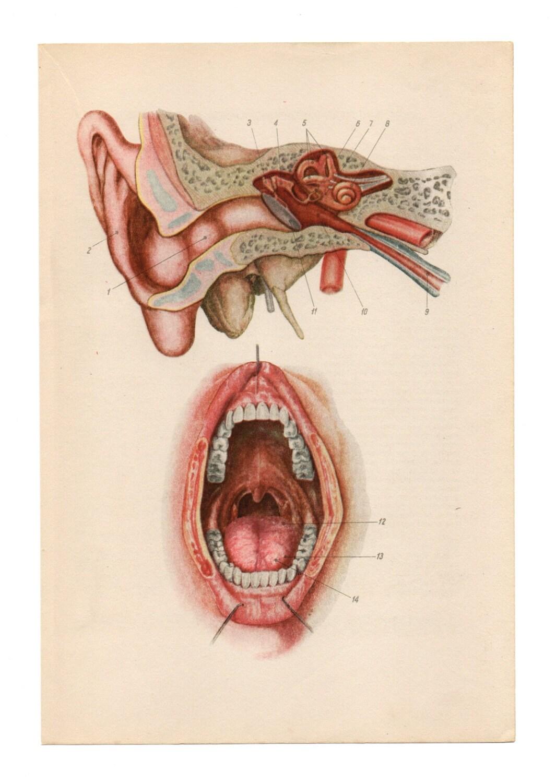 Esqueleto de cráneo impresiones Vintage médica diagramas