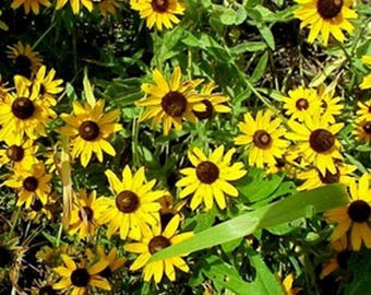 Black- Eyed Susan- 400 Seeds
