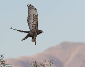 Red-tailed Hawk take-off: photo print, metal, canvas