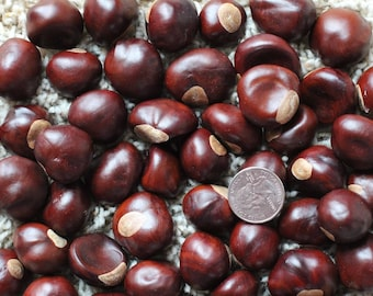 50 Buckeye Nuts - Central Ohio Grown, Dried & Ready For Use