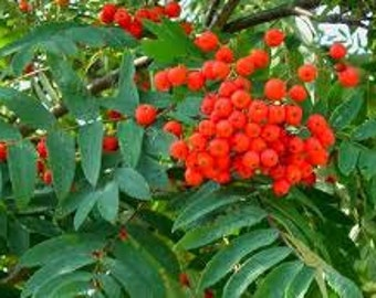 Rowan Tree Seeds, Mountain Ash, Sorbus aucuparia, Witchwood, Amur, Historical Witch Plant, Berries Food Source, Rune Tree