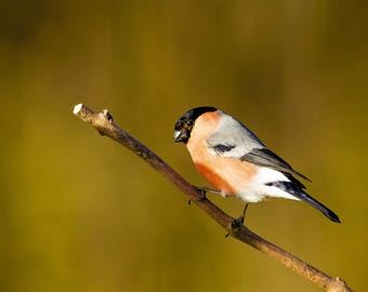 Wildlife Photographic signed mounted A4/A3 Prints of a Bullfinch