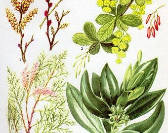 Vintage Botanical Print LAUREL Antique Flower print vintage botanical Flowers, flowers bookplate art print - flowers flower wall print