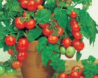Tomato VILMA seeds/dwarf RED tomato seeds/balcony pot tomato seeds/ 25 seeds/best before 2020