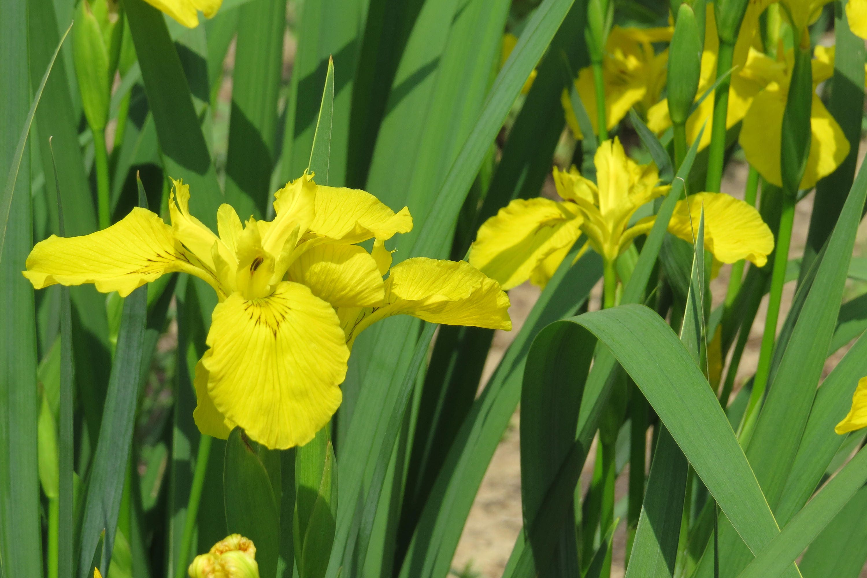 Siberian iris iris sibirica yellow iris live plants 835 shipping izmirmasajfo