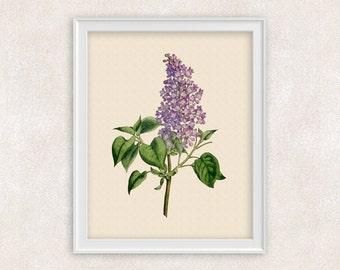 Lilac Botanical Art Print - Purple Flower Print - Garden Prints - 8x10 PRINT Illustration - Poster - Victorian Art - Item #159
