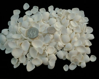 Tiny White Cup Seashells/White Cup Shells/White Cay Cay Seashells/Bulk White Shells/Seashell Confetti/Beach Wedding Shells/Sailors Valentine