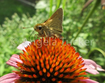 Butterfly on a Cone flower - Digital Download