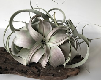 Xerographica air plant // three sizes