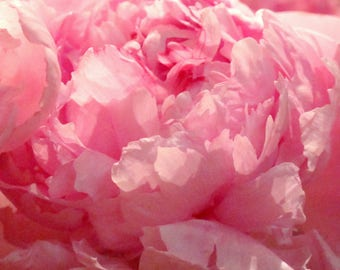 Pink Plaza Peony - Beautiful Botanical Bloom - Pretty Peony Petals - Ruffled Romance - Original Color Photograph by Suzanne MacCrone Rogers