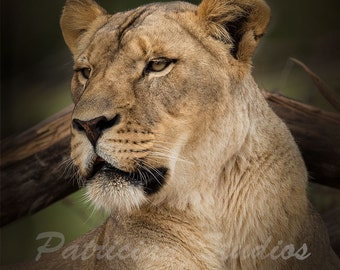 African Lioness: Her Majesty
