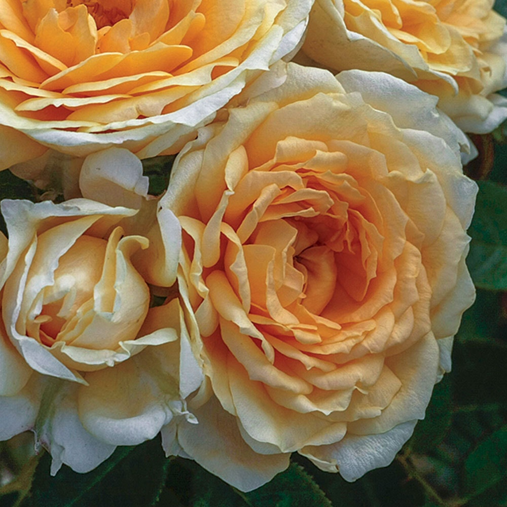 Ediths darling rose bush a downton abbey rose fragrant ediths darling rose bush a downton abbey rose fragrant apricot yellow flowers own root potted spring shipping mightylinksfo Choice Image