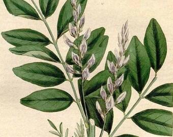 Licorice Root Elixir - glycyrrhiza glabra - organic tincture with raw Hawaiian honey and brandy