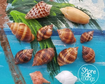 Rare Collectible SWFL Sea Shell Package - Rose Murex and Dark Nutmegs
