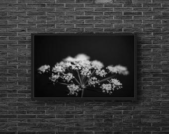 Parsley Flower Fine Art Digital Download / Black and White Photo