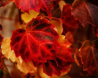 Leaves Photography, Red Leaf Photography, Fall Photography, Leaves Art Print, Autumn Photography, Nature Scene, Nature Photography