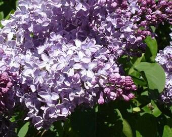 5 Common lilac bush 1 feet tall bare root wholesale  bush