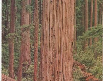 California Redwood Tree, Unused Postcard,  c1970s, good shape