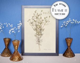 "Vintage illustration of Branched Plantain - framed fine art print, botanical art, 8""x10"" ; 11""x14"", FREE SHIPPING - 62"