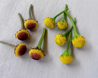 "Acmella oleracea( spilanthes) 40 ""fresh flowers"": Szechuan buttons AkA Buzz buttons- 50/50 selection of Lemon drops and Bullseye."
