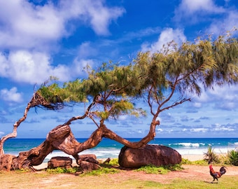 Kauai Photography Print Hawaii Island Beach Tree with Rooster Paradise  Fine Art Photograph Wall Decor | Also Available on Canvas or Metal