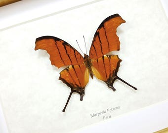 FREE SHIPPING Framed Marpesia Petreus Ruddy Daggerwing Butterfly Taxidermy A- #136
