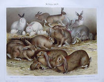 Chromolithography Rabbits