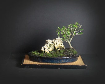 Schilling holly bonsai tree, Evergreen collection from LiveBonsaiTree